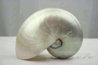 large seashell nautilus pompilius polished 15 cm dekomuschel perl boat notify ebay. Black Bedroom Furniture Sets. Home Design Ideas